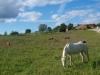 Poneys dans l'herbe